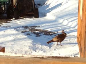 Wild turkeys in the yard - March 14